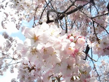 上野桜.jpg